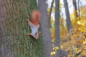 Eurasian red squirrel on the tree trunk in autumn forest. — Stok fotoğraf