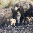 Stock Photo: Wildboar