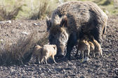 Wildboar — Stock Photo