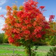 Red acacia tree — Stock Photo