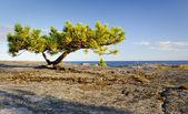 Lonely stunted pine tree — Stock Photo