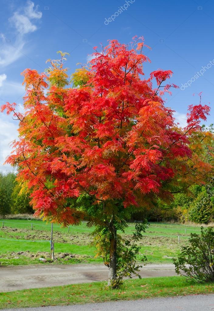 红色相思树 - 图库图片