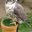 Falcon in tethered — Stock Photo