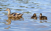 Duck mother with chicks — Stock Photo