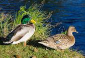 European ducks pair — Stock Photo