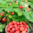Wild strawberry harvesting time — Stock Photo