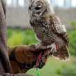 Tricks with eagle-owl — Stock Photo