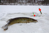 Winter pike fishing — Stock Photo