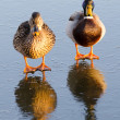 Ducks on the ice — Stock Photo