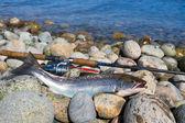 Silver sea trout fishing trophy — Stock fotografie