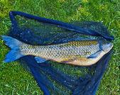 Big carp — Stock Photo