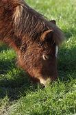 маленькая лошадь — Стоковое фото