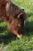 Küçük at — Stok fotoğraf