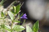 Perwinkle flower — Stock Photo