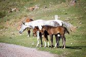 серая лошадь и двух жеребят — Стоковое фото