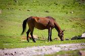 Pasturing horse — Stock Photo