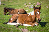 Small cute foals on the grass — Stock Photo