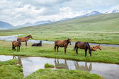 Herd of horses grazing in mountains — Stock Photo