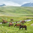 Herd of horses with colts — Stock Photo