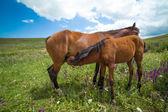 Bay horse feeding foal — Stock Photo