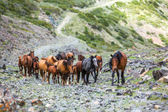 Herd of horses going up in mountains — Stock Photo