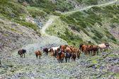 Large group of horses going up on stony road — Stock Photo