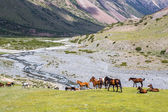 Horses pasturing on grass in mountains — Stock Photo
