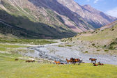 Horses in high mountains — Stock Photo