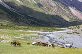 Herd of horses pasturing near mountain river — Stock Photo