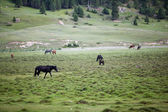 Horses pasturing in the field — Stock Photo