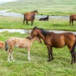 Horses with colts pasturing at the river — Stock Photo #32230337
