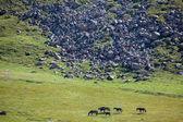 Groep van donkere paarden — Stockfoto