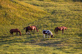 Group of horses feeding grass — Stock Photo