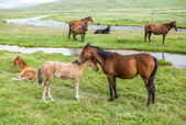 Horses with colts pasturing at the river — Stock Photo