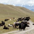 Yaks blocking road, Tien Shan — Stock Photo