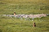 Brown marmot in mountains — Foto de Stock