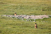 Marmots in the field — Foto Stock