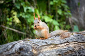 Squirrel eating nut in green forest — Stock Photo