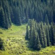 Fir tree forest — Foto Stock