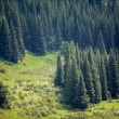 Fir tree forest — Stockfoto