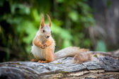 Gunny squirrel — Stock Photo