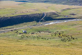 Livestock pasturing near yurt — Stock Photo