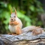 Wild pretty squirrel sitting on log — Stock Photo