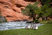 Group of geese walking down the river — Foto de Stock