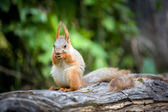 Cute squirrel eating nut — Stock Photo