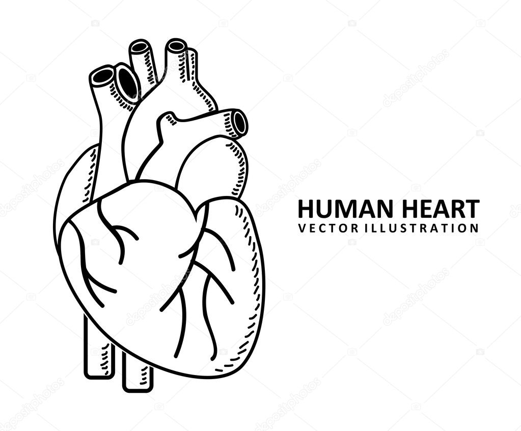 Human Heart Vector Image Human Heart Design Over White