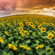Sunflowers filed at sunset — Stock Photo