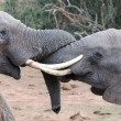 Foto Stock: AfricElephant Tussle