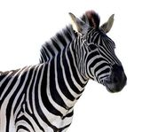 Zebra Portrait - Isolated — Stock Photo