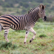 Plains Zebra Running — Stock Photo